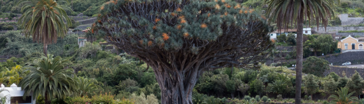 Tenerifės drakonų medis